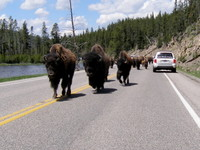 Highlight for Album: Yellowstone June 2008